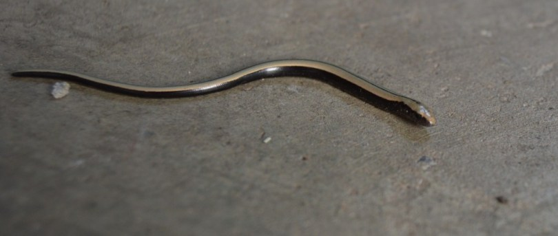 Baby Slow worm on concrete floor