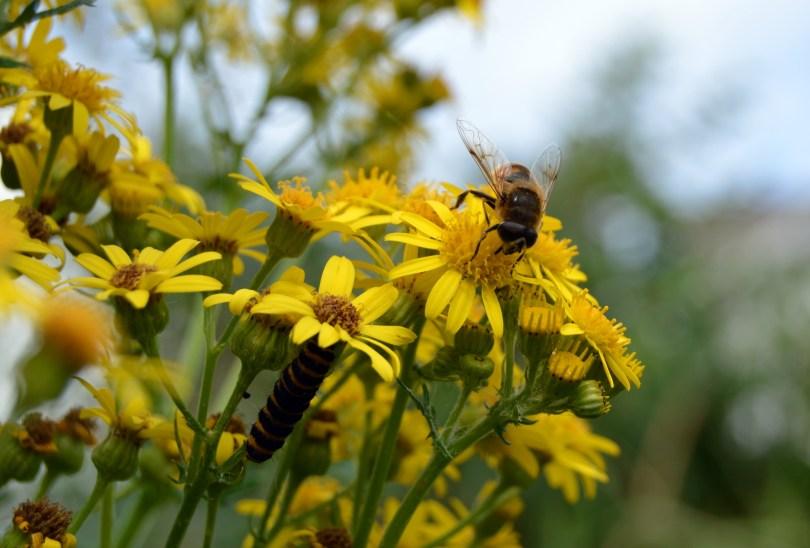 Bee and caterpillar eating ragwort