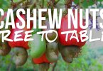 Cashew nuts tree to table