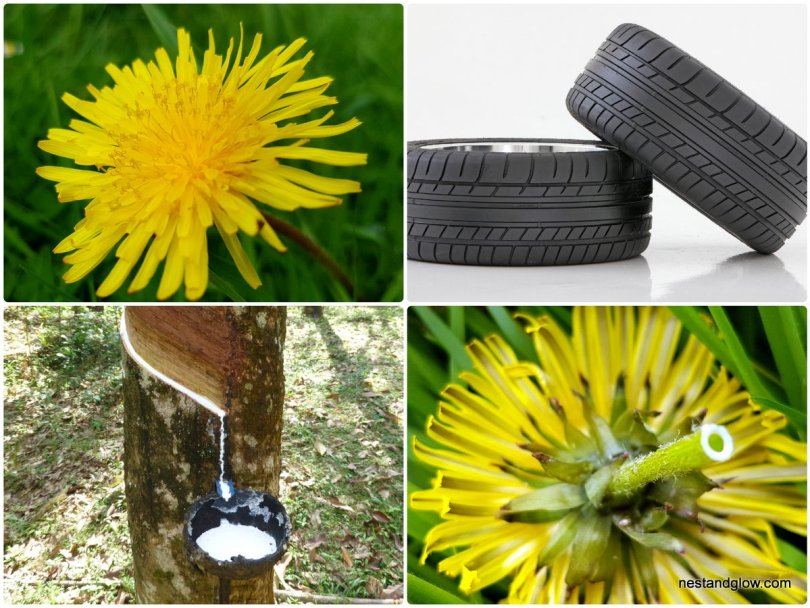 dandelions showing natural latex rubber
