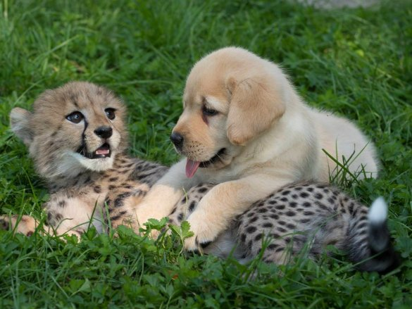 Dogs helping to prevent the extinction of cheetahs