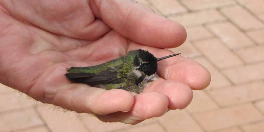 injured-hummingbird