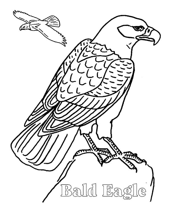 bald eagle flying finding her mate coloring page netart