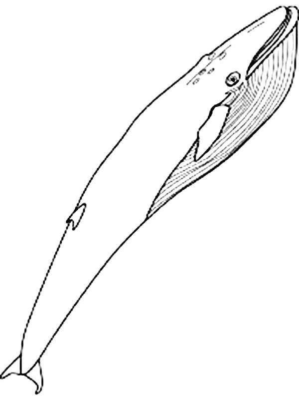 whale blue whale coloring page coloring page coloring page marine