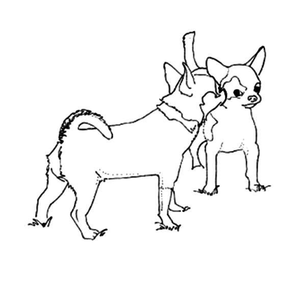 chihuahua dog  netart