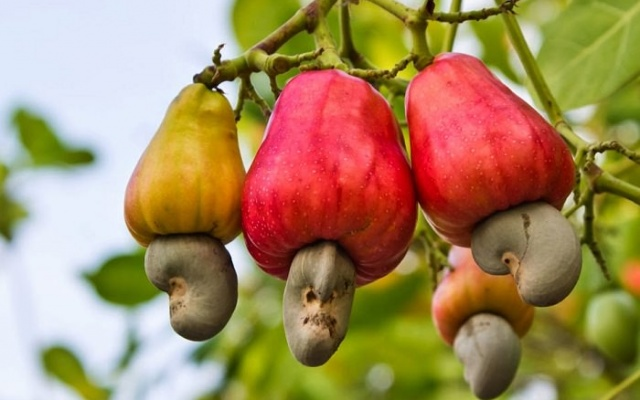 National Cashew mass spraying exercise launched