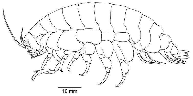 Ilustración científica de la hembra de Eurythenes Atacamaensis, crustáceo.