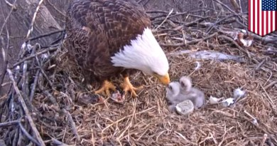Eagle giving birth after 250 years- Netmarkers