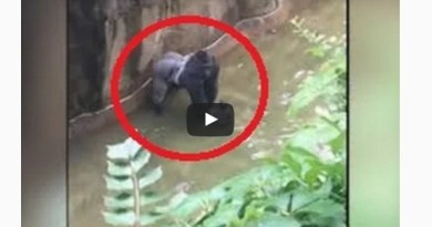 Gorilla killed to save 4 years old who fall accidentally into Cincinnati's zoo enclosure-Netmarkers