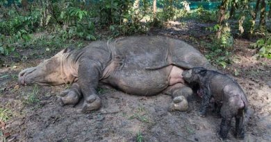 Sumatran rhino took birth in Indonesia