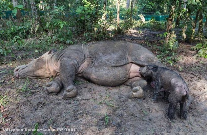Sumatran rhino took birth in Indonesia