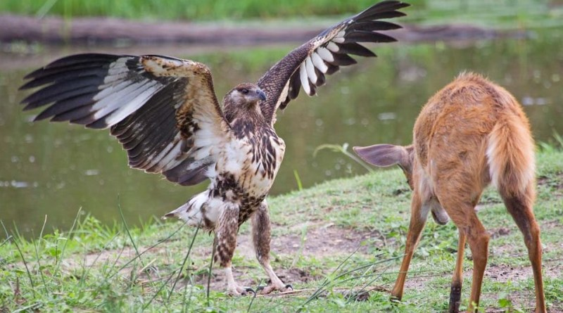 Trending and viral Animal Videos Eagle hunting deer an amazing way-Netmarkers