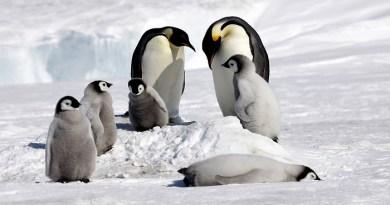 emperor penguin-Netmarkers