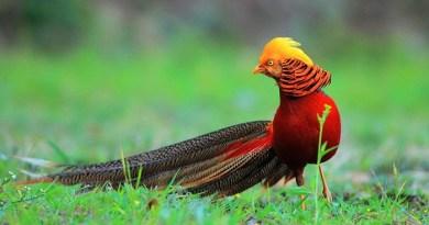 Golden Pheasant-Netmarkers