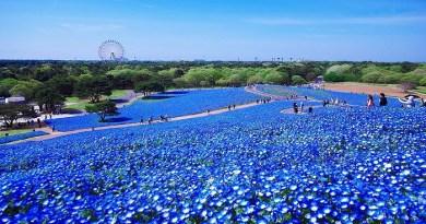 Hitachi Seaside Park in Japan-Netmarkers