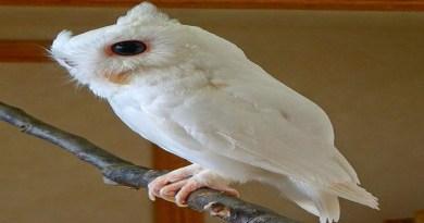 eastern-screech-owl-netmarkers