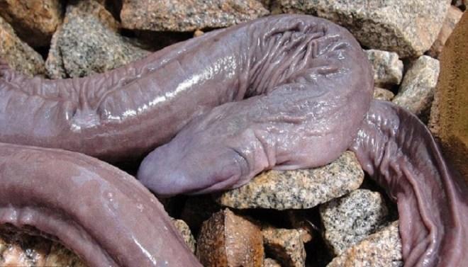 Penis Snake-netmarkers