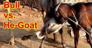 bull-goat-fight-netmarkers