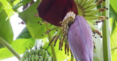 Health-Benefits-Of-Banana-Flowers-Netmarkers