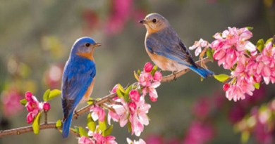 pair-of-bluebirds-Netmarkers
