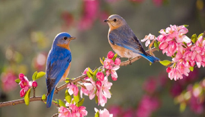 pair-of-bluebirds-Netmarkers
