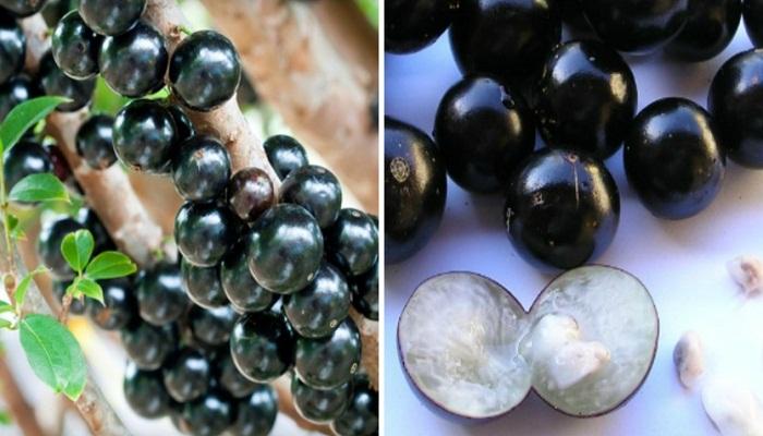 Jabuticabeira-fruits-Netmarkers