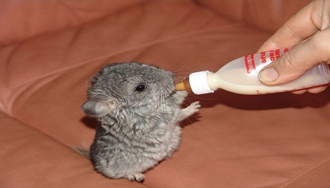 baby chinchilla netmarkers