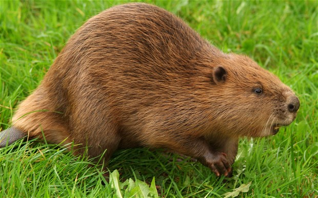 Beaver-netmarkers