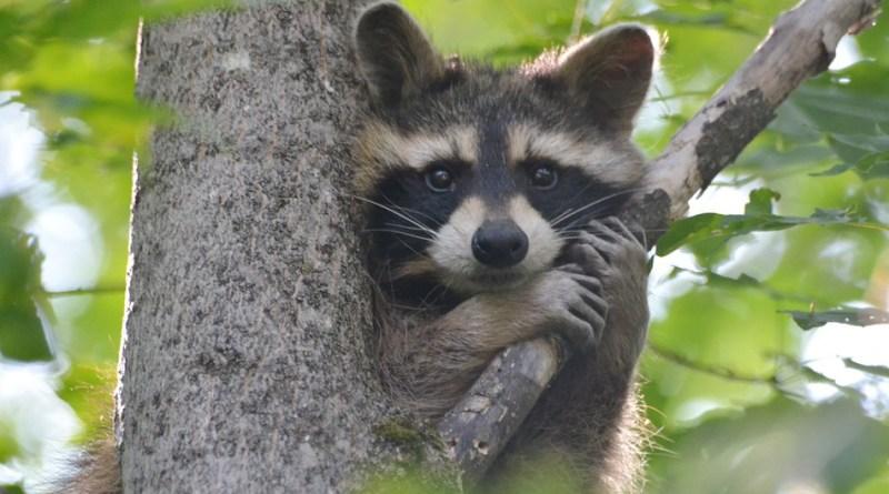 Raccoon-netmarkers