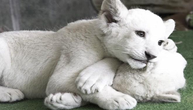 white lion-netmarkers