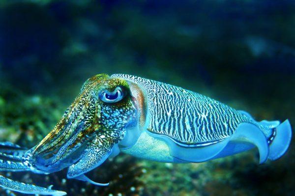 Cuttlefish-netmarkers