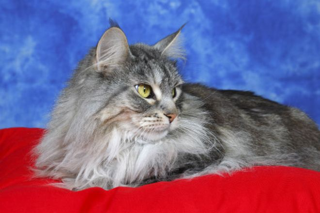 maine-coon-cats-netmarkers
