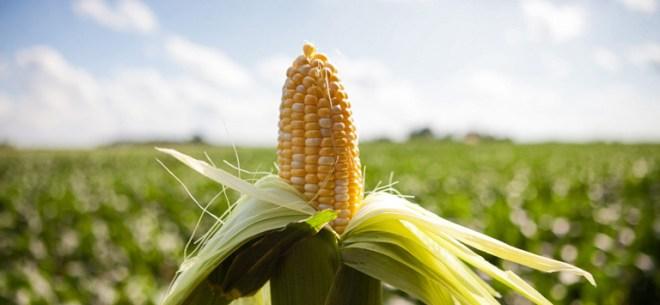 corn-netmarkers
