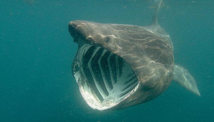 Basking shark-Netmarkers