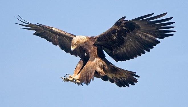 golden Eagle-Netmarkers