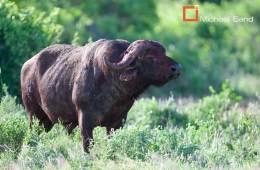 Bøffel angreb kvindelig jæger