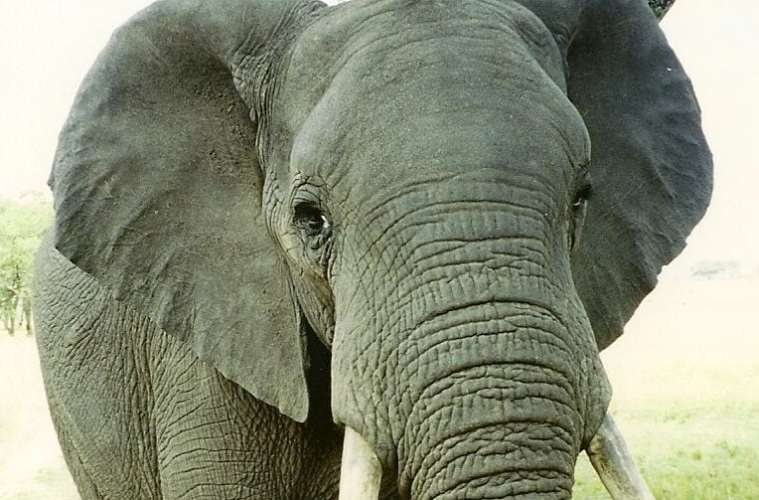 108 tons elfenben på auktion