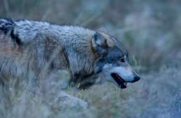 Dømte i ulvesag: Ulven var alt for fed