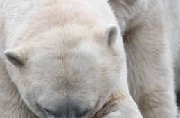 I isbjørnens fodspor