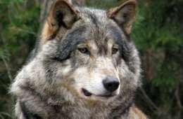 Sveriges voksende ulveproblem.