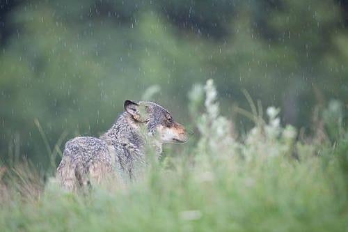 Der har været voldsom kritik af jagten på ulv i Sverige, hvor der er udstedt tilladelser til at skyde 27 ulve ud af en estimeret bestand på 250.