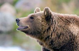 Hver tredje bjørn anskydes