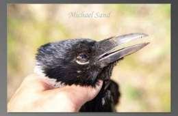 En god tid for kragerne