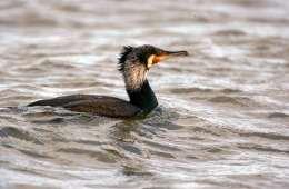 Vinteren presser skarver til at æde døde fisk