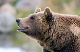 Bjørn angriber rævejægere