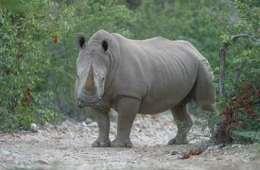 Mystisk interesse for næsehorn