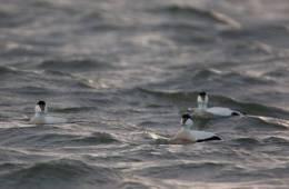 Gråand og edderfugl under klima-lup