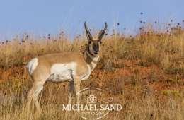Antilopejagt under pres