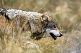 Indavl plager den svensk-norske ulvebestand