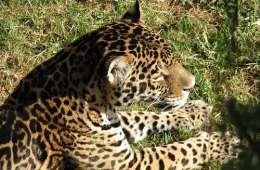 Jagt med bedøvelsespil tillades på jaguar